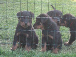 pups 5 weken 2013 006