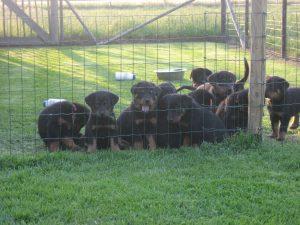 pups 5 weken 2013 011