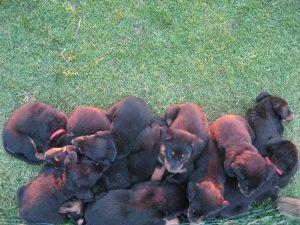 pups 5 weken 2013 014
