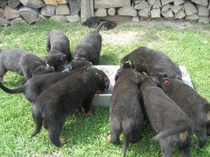 pups aan het eten (4)