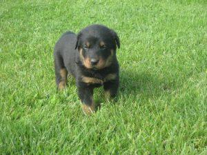 zwarte reu pups 4 weken 2013 020